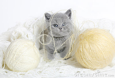 British kitten with knitting.