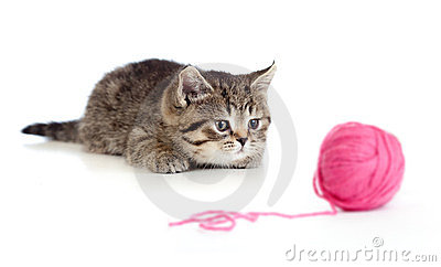 British kitten playing red clew or ball