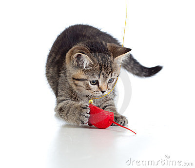 British kitten playing red mouse