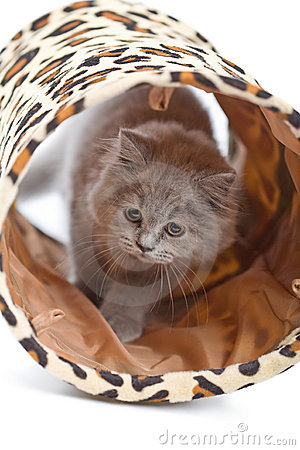 British kitten playing in tunnel isolated