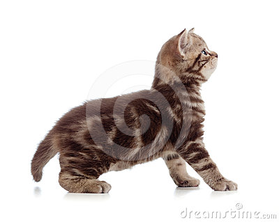 British kitten profile side view