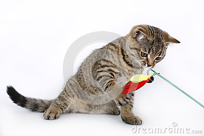 British kitten with a red toy