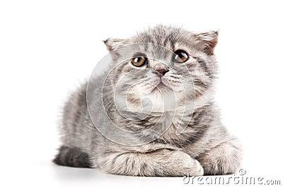 British kitten  on white