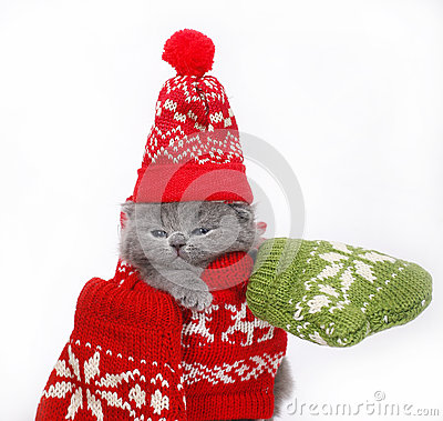 British kitten in winter clothes
