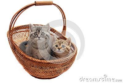 British kittens