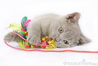 British kittens with toy