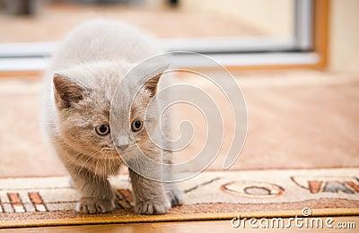 British Lilac Kitten