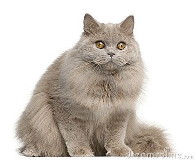 British longhair cat, 15 months old, sitting