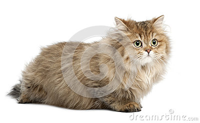 British Longhair cat, 4 months old, lying
