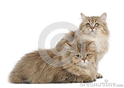 British Longhair cat, 4 months old, lying