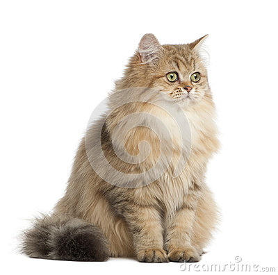British Longhair cat, 4 months old, sitting