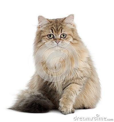 British Longhair cat, 4 months old, sitting