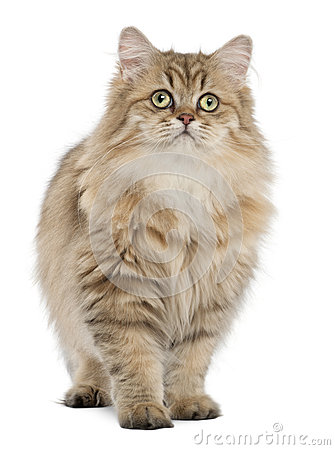 British Longhair cat, 4 months old, standing