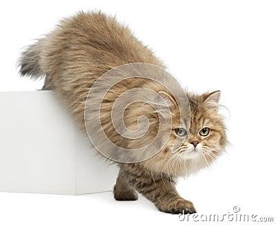 British Longhair cat, 4 months old, walking