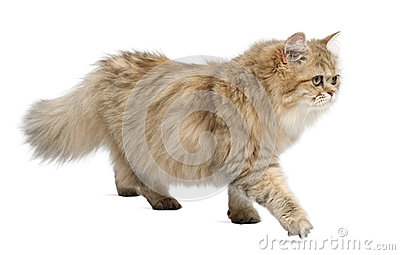 British Longhair cat, 4 months old, walking