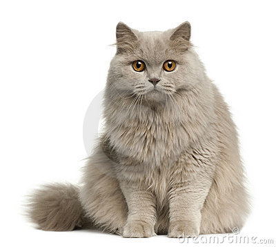 Free British Longhair Cat, 8 Months Old, Sitting Royalty Free Stock Image - 16822116