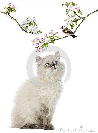Free British Longhair Kitten Looking Up At A Bird Perching Royalty Free Stock Photography - 34066187