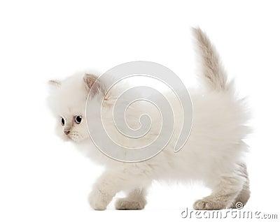 British Longhair Kitten walking, 5 weeks old