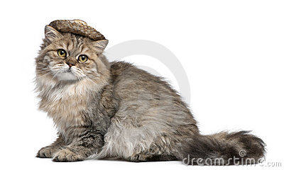 British Longhair kitten wearing straw hat sitting
