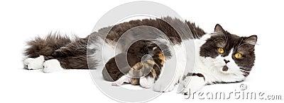 British Longhair lying looking at the camera, feeding its kitten