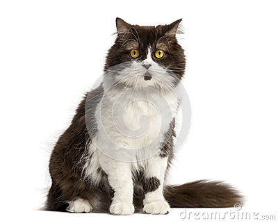 British Longhair sitting, facing, isolated