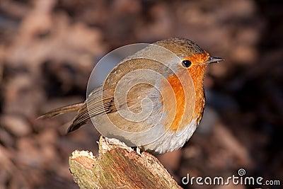British Robin (Erithacus rubecula)