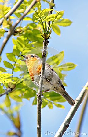British robin singing