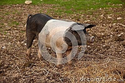 British saddleback pig