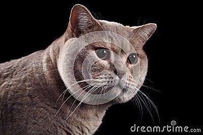 British Short Hair Cat Cutout