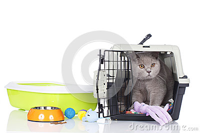 British short hair cat sitting in a transport box