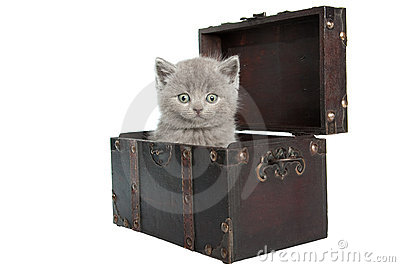 British short-hair kitten in a chest