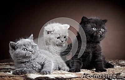 British short hair kittens
