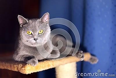British short-haired cat