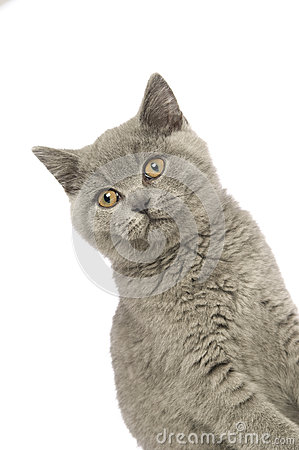 British short haired grey cat