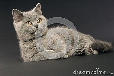 British short haired grey cat
