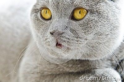 British Shortahir Lilac Cat