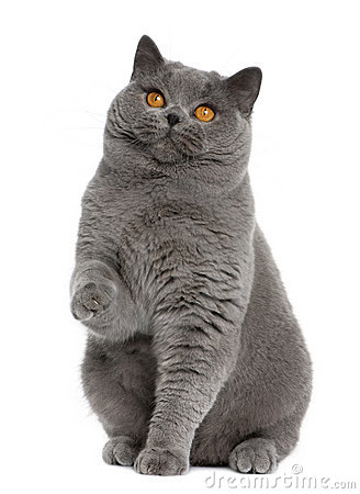 British shorthair (15 months old)