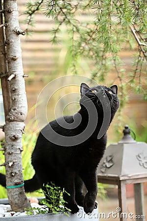 Free British Shorthair Black Cat Portrait Among Branches Stock Photos - 98044713