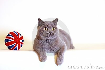 British Shorthair blue cat
