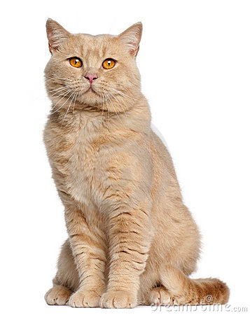 British Shorthair cat, 1 year old, sitting