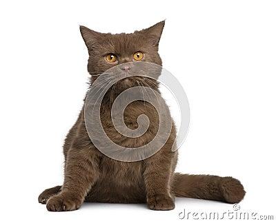 British shorthair cat, 11 months old