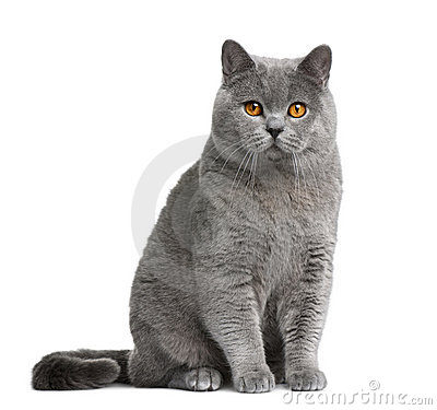 Free British Shorthair Cat, 12 Months Old Royalty Free Stock Photo - 13667675