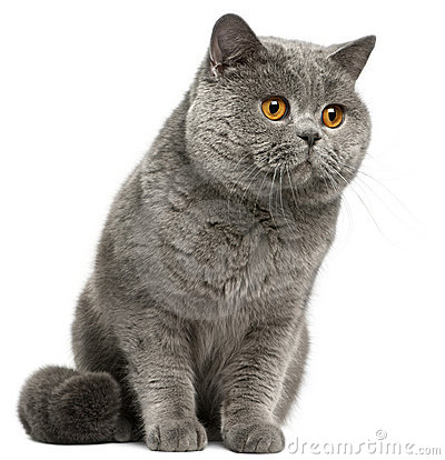 British Shorthair cat, 2 years old