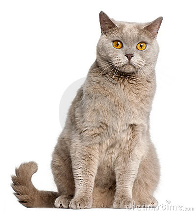 British Shorthair cat, 2 years old, sitting