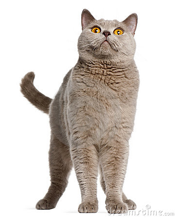 British Shorthair cat, 2 years old, standing