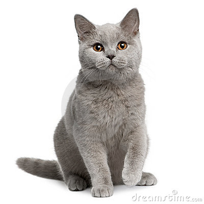 Free British Shorthair Cat, 7 Months Old Royalty Free Stock Photo - 13667835