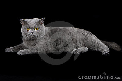 British Shorthair cat on black background