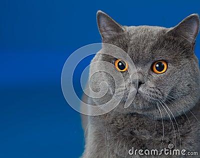 British shorthair cat on blue