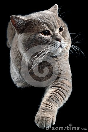 British Shorthair Cat Cutout