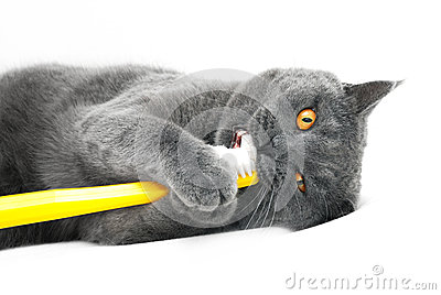 British shorthair cat playing with toothbrush